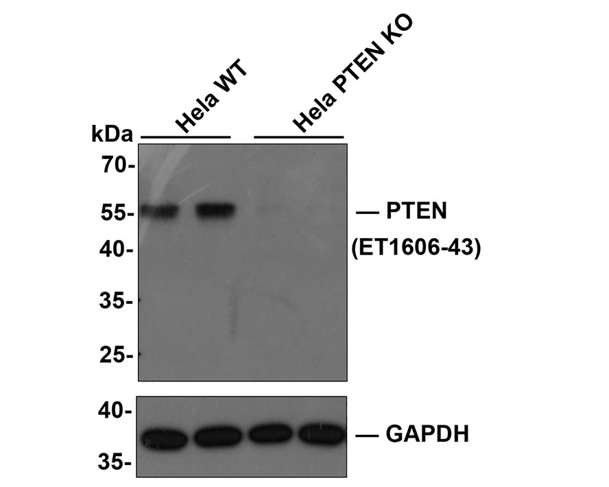 Western blot analysis of PTEN on different lysates. Proteins were transferred to a PVDF membrane and blocked with 5% BSA in PBS for 1 hour at room temperature. The primary antibody (ET1606-43, 1/500) was used in 5% BSA at room temperature for 2 hours. Goat Anti-Rabbit IgG - HRP Secondary Antibody (HA1001) at 1:5,000 dilution was used for 1 hour at room temperature.<br />  Positive control: <br />  Lane 1: MCF-7 cell lysate<br />  Lane 2: Hela cell lysate<br />  Lane 3: 293T cell lysate