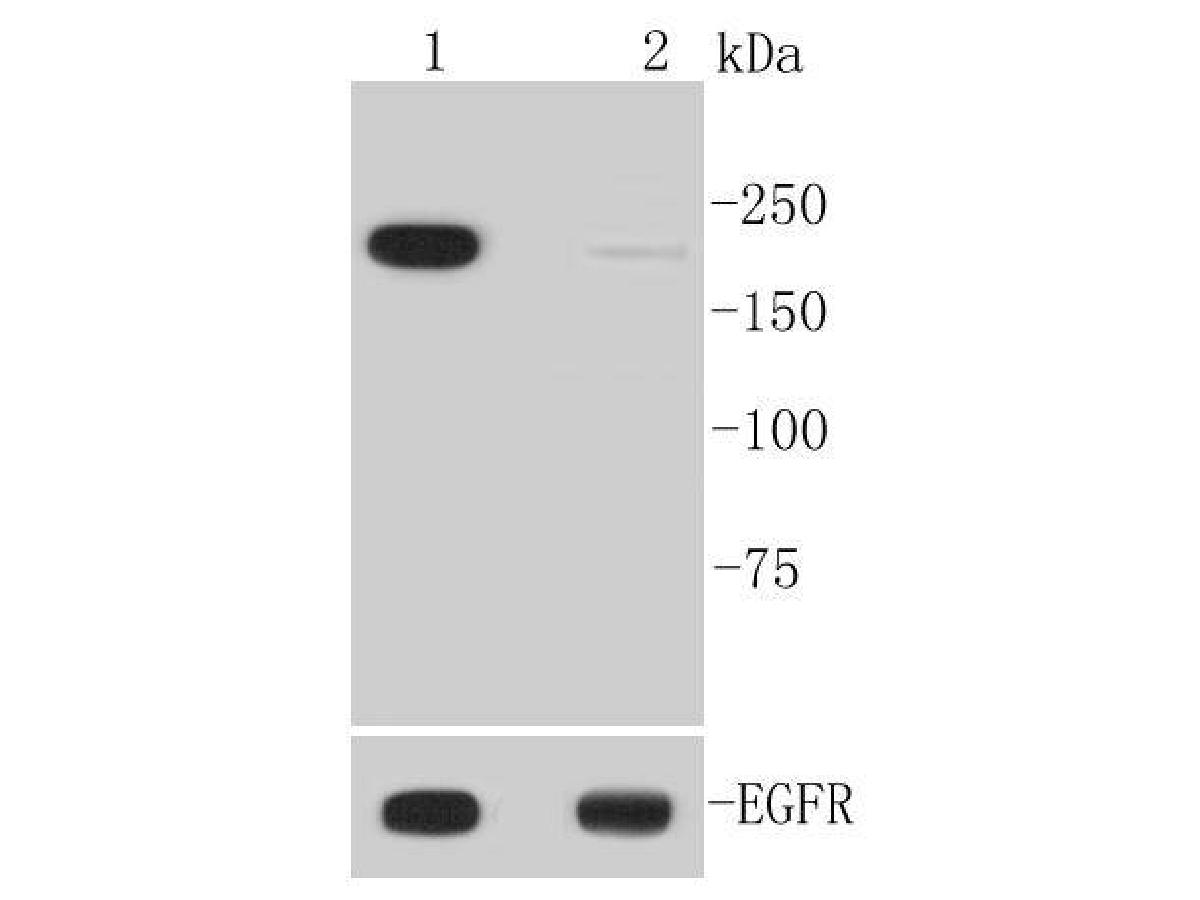 Western blot analysis of Phospho-EGFR(Y1092) on different lysates. Proteins were transferred to a PVDF membrane and blocked with 5% BSA in PBS for 1 hour at room temperature. The primary antibody (ET1606-44, 1/1,000) was used in 5% BSA at room temperature for 2 hours. Goat Anti-Rabbit IgG - HRP Secondary Antibody (HA1001) at 1:5,000 dilution was used for 1 hour at room temperature.<br /> Positive control: <br /> Lane 1: A431 cell lysate treated with EGF <br /> Lane 2: Untreated A431 cell lysate