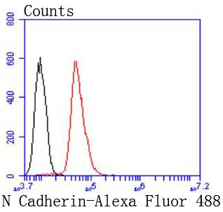 Flow cytometric analysis of N Cadherin was done on Hela cells. The cells were fixed, permeabilized and stained with the primary antibody (ET1607-37, 1/50) (red). After incubation of the primary antibody at room temperature for an hour, the cells were stained with a Alexa Fluor 488-conjugated Goat anti-Rabbit IgG Secondary antibody at 1/1000 dilution for 30 minutes.Unlabelled sample was used as a control (cells without incubation with primary antibody; black).