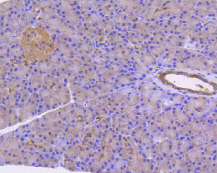 Immunohistochemical analysis of paraffin-embedded rat pancreas tissue using anti-Stat3 antibody. The section was pre-treated using heat mediated antigen retrieval with Tris-EDTA buffer (pH 8.0-8.4) for 20 minutes.The tissues were blocked in 5% BSA for 30 minutes at room temperature, washed with ddH2O and PBS, and then probed with the primary antibody (ET1607-38, 1/50) for 30 minutes at room temperature. The detection was performed using an HRP conjugated compact polymer system. DAB was used as the chromogen. Tissues were counterstained with hematoxylin and mounted with DPX.