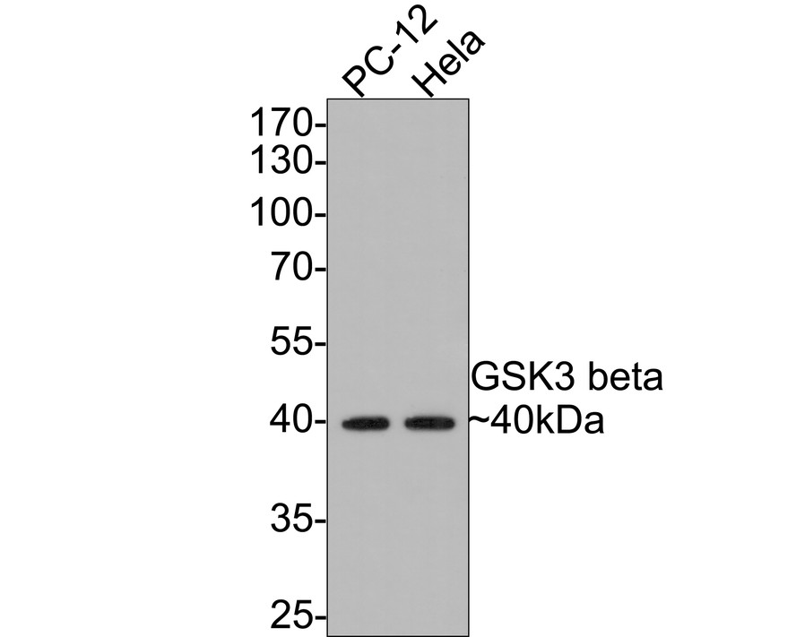 Western blot analysis of GSK3 beta on different lysates. Proteins were transferred to a PVDF membrane and blocked with 5% BSA in PBS for 1 hour at room temperature. The primary antibody (ET1607-71, 1/500) was used in 5% BSA at room temperature for 2 hours. Goat Anti-Rabbit IgG - HRP Secondary Antibody (HA1001) at 1:5,000 dilution was used for 1 hour at room temperature.<br /> Positive control:<br /> Lane 1: Hela cell lysate<br /> Lane 2: 293 cell lysate<br /> Lane 3: NIH/3T3 cell lysate<br /> Lane 4: PC-12 cell lysate