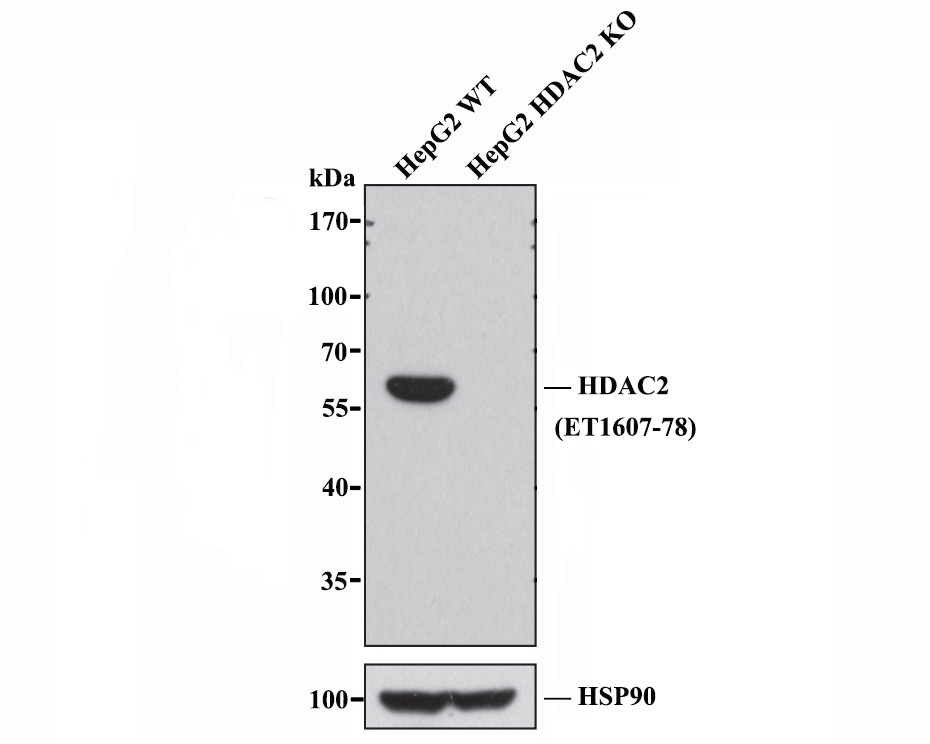 Western blot analysis of HDAC2 on different lysates. Proteins were transferred to a PVDF membrane and blocked with 5% BSA in PBS for 1 hour at room temperature. The primary antibody (ET1607-78, 1/500) was used in 5% BSA at room temperature for 2 hours. Goat Anti-Rabbit IgG - HRP Secondary Antibody (HA1001) at 1:5,000 dilution was used for 1 hour at room temperature.<br />  Positive control: <br />  Lane 1: 293T cell lysate<br />  Lane 2: K562 cell lysate