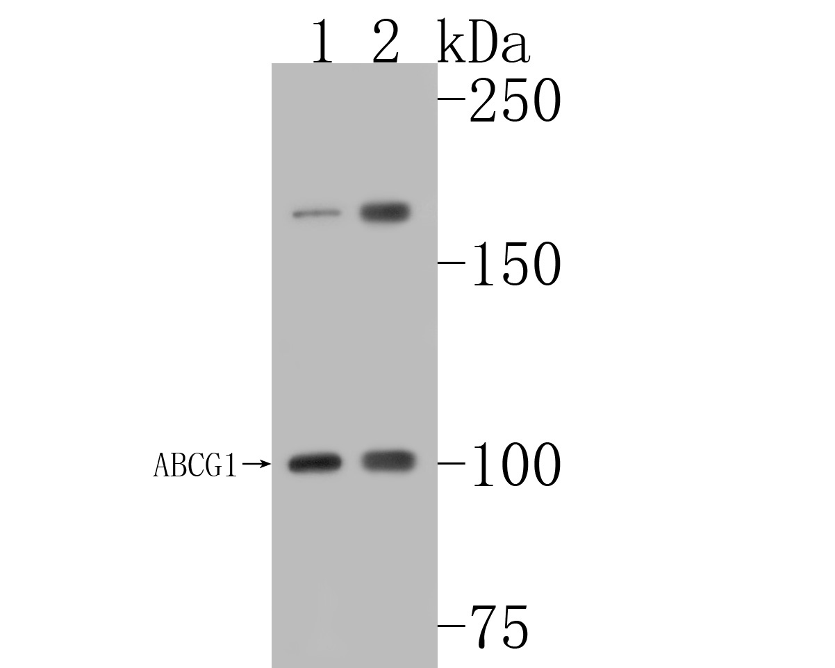 Western blot analysis of ABCG1 on different lysates. Proteins were transferred to a PVDF membrane and blocked with 5% BSA in PBS for 1 hour at room temperature. The primary antibody (ET1608-20, 1/500) was used in 5% BSA at room temperature for 2 hours. Goat Anti-Rabbit IgG - HRP Secondary Antibody (HA1001) at 1:5,000 dilution was used for 1 hour at room temperature.<br /> Positive control: <br /> Lane 1: THP-1 cell lysate<br /> Lane 2: MCF-7 cell lysate