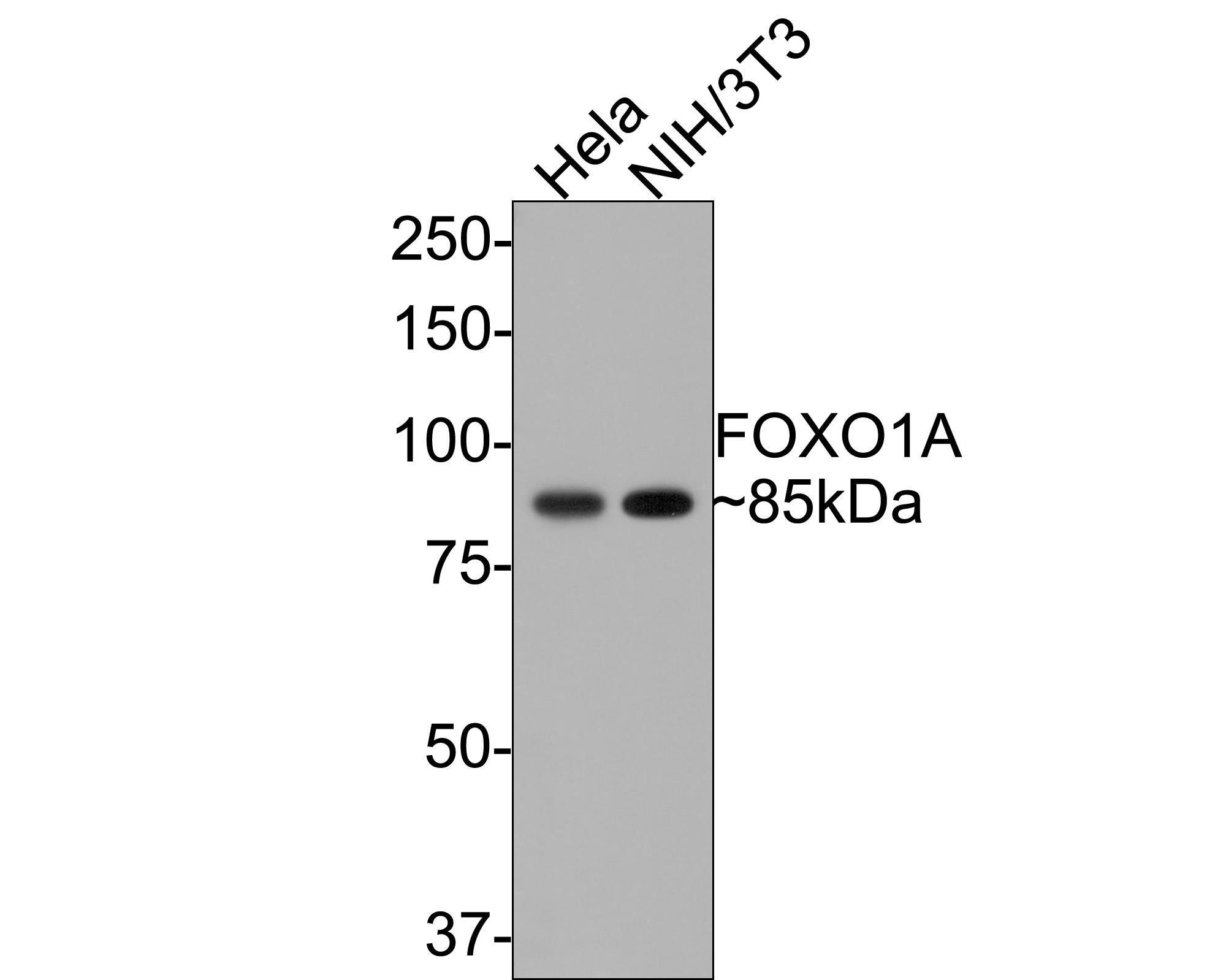 Western blot analysis of FOXO1A on different lysates. Proteins were transferred to a PVDF membrane and blocked with 5% BSA in PBS for 1 hour at room temperature. The primary antibody (ET1608-25, 1/500) was used in 5% BSA at room temperature for 2 hours. Goat Anti-Rabbit IgG - HRP Secondary Antibody (HA1001) at 1:5,000 dilution was used for 1 hour at room temperature.<br /> Positive control: <br /> Lane 1: Hela cell lysate<br /> Lane 2: NIH/3T3 cell lysate