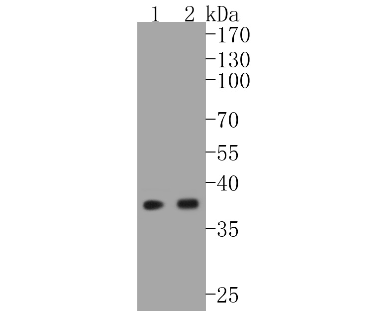 Western blot analysis of EpCAM on different lysates. Proteins were transferred to a PVDF membrane and blocked with 5% BSA in PBS for 1 hour at room temperature. The primary antibody (ET1608-26, 1/500) was used in 5% BSA at room temperature for 2 hours. Goat Anti-Rabbit IgG - HRP Secondary Antibody (HA1001) at 1:5,000 dilution was used for 1 hour at room temperature.<br /> Positive control: <br /> Lane 1: HCT116 cell lysate<br /> Lane 2: SW480 cell lysate