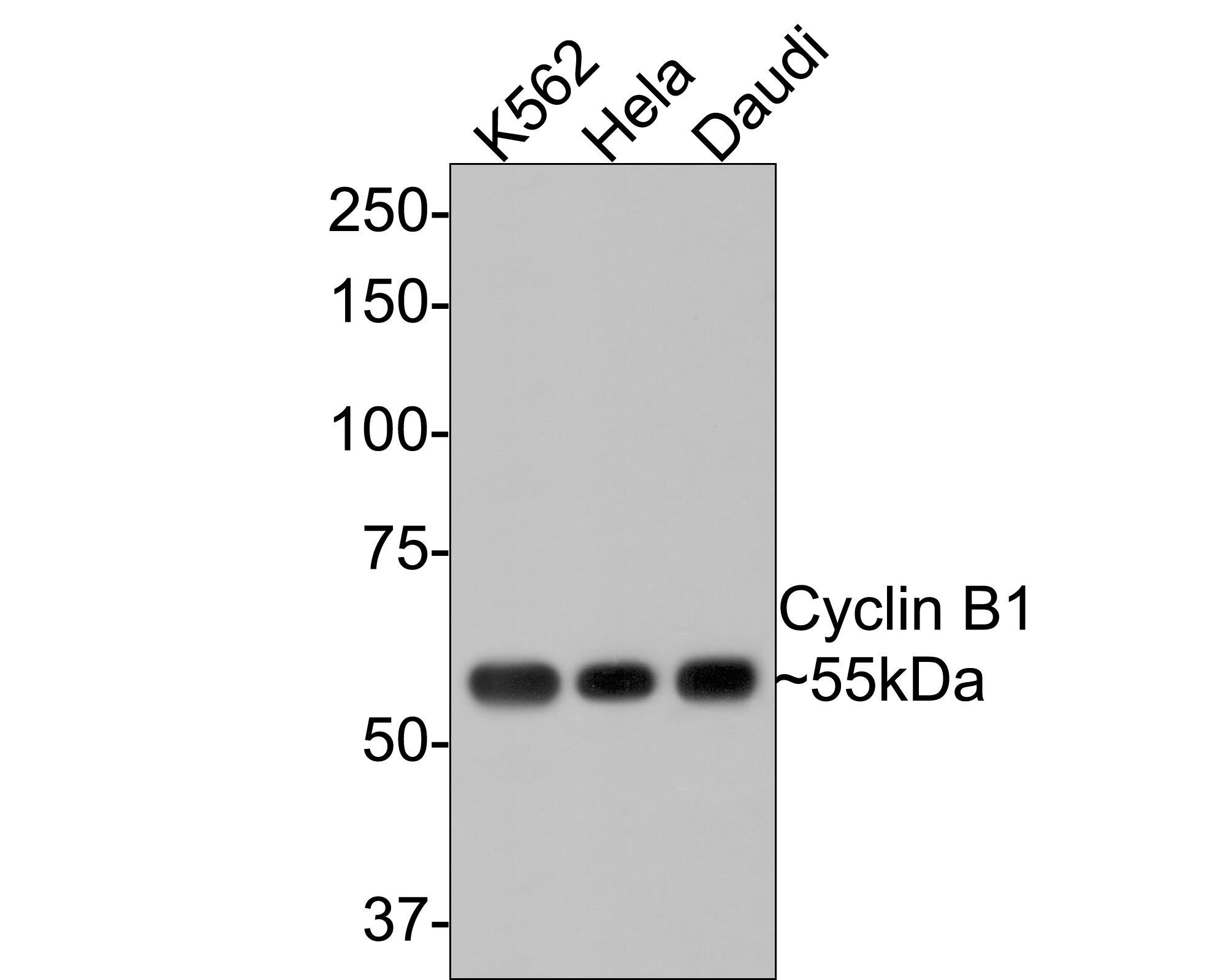 Western blot analysis of Cyclin B1 on different lysates. Proteins were transferred to a PVDF membrane and blocked with 5% BSA in PBS for 1 hour at room temperature. The primary antibody (ET1608-27, 1/500) was used in 5% BSA at room temperature for 2 hours. Goat Anti-Rabbit IgG - HRP Secondary Antibody (HA1001) at 1:5,000 dilution was used for 1 hour at room temperature.<br /> Positive control: <br /> Lane 1: Hela cell lysate<br /> Lane 2: Daudi cell lysate<br /> Lane 3: K562 cell lysate