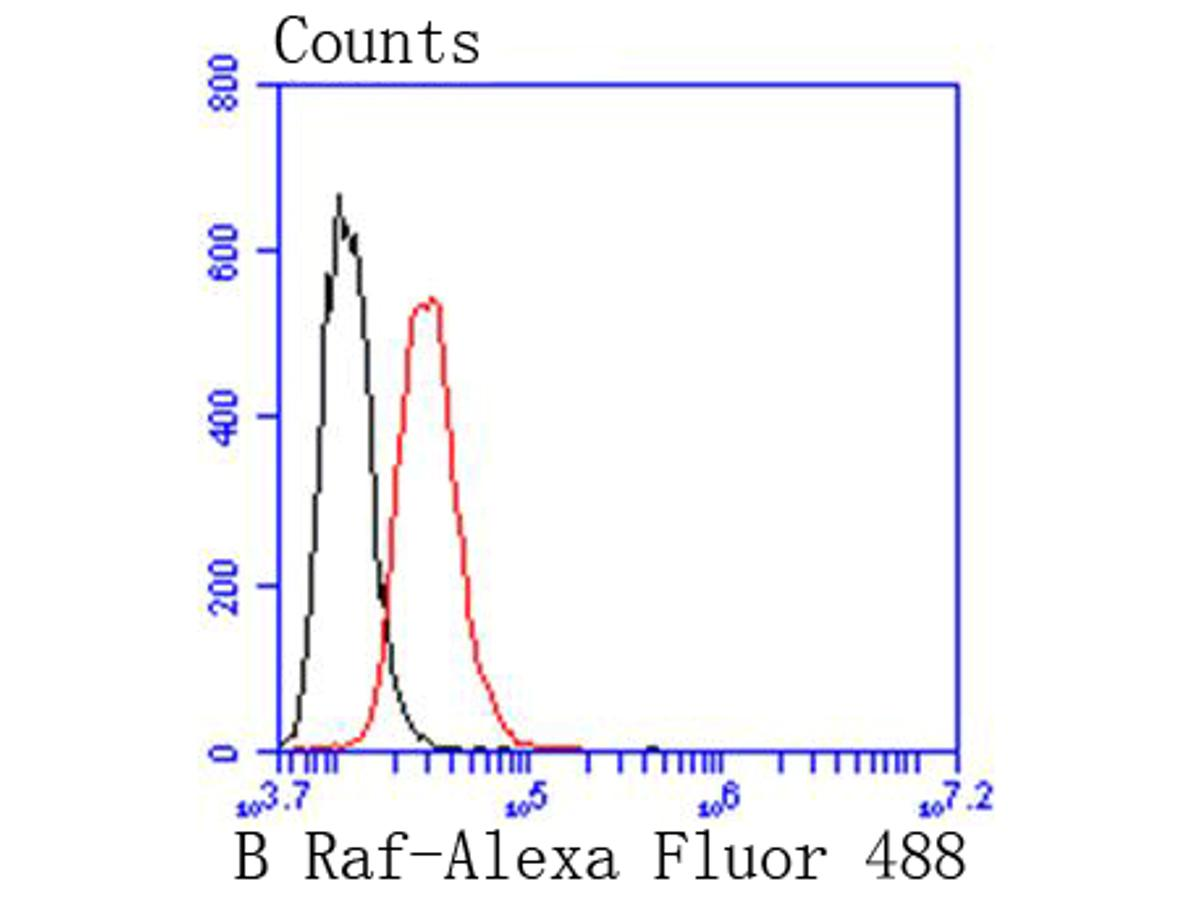 Flow cytometric analysis of B Raf was done on Hela cells. The cells were fixed, permeabilized and stained with the primary antibody (ET1608-36, 1/50) (red). After incubation of the primary antibody at room temperature for an hour, the cells were stained with a Alexa Fluor 488-conjugated Goat anti-Rabbit IgG Secondary antibody at 1/1000 dilution for 30 minutes.Unlabelled sample was used as a control (cells without incubation with primary antibody; black).