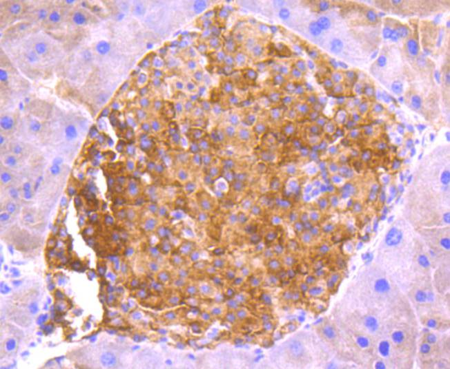 Immunohistochemical analysis of paraffin-embedded mouse pancreas tissue using anti-ASK1 antibody. The section was pre-treated using heat mediated antigen retrieval with Tris-EDTA buffer (pH 8.0-8.4) for 20 minutes.The tissues were blocked in 5% BSA for 30 minutes at room temperature, washed with ddH2O and PBS, and then probed with the primary antibody (ET1608-54, 1/50) for 30 minutes at room temperature. The detection was performed using an HRP conjugated compact polymer system. DAB was used as the chromogen. Tissues were counterstained with hematoxylin and mounted with DPX.