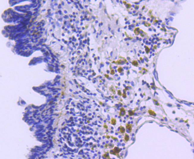 Immunohistochemical analysis of paraffin-embedded mouse lung tissue using anti-p27 KIP 1 antibody. The section was pre-treated using heat mediated antigen retrieval with sodium citrate buffer (pH 6.0) for 20 minutes. The tissues were blocked in 5% BSA for 30 minutes at room temperature, washed with ddH2O and PBS, and then probed with the primary antibody (ET1608-61, 1/50)  for 30 minutes at room temperature. The detection was performed using an HRP conjugated compact polymer system. DAB was used as the chromogen. Tissues were counterstained with hematoxylin and mounted with DPX.