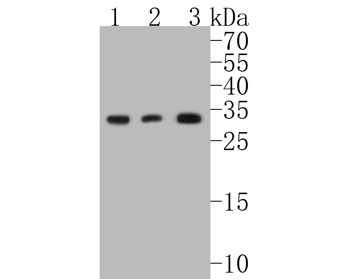 Western blot analysis of active+pro Caspase-3 on different lysates. Proteins were transferred to a PVDF membrane and blocked with 5% BSA in PBS for 1 hour at room temperature. The primary antibody (ET1608-64, 1/500) was used in 5% BSA at room temperature for 2 hours. Goat Anti-Rabbit IgG - HRP Secondary Antibody (HA1001) at 1:5,000 dilution was used for 1 hour at room temperature.<br />  Positive control: <br />  Lane 1: Jurkat cell lysate<br />  Lane 2: NIH/3T3 cell lysate<br />  Lane 3: human lung tissue lysate