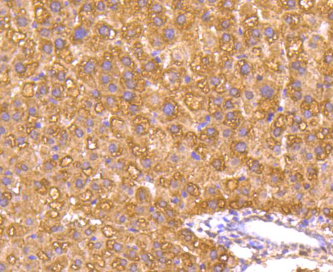 Flow cytometric analysis of Caspase-1 was done on Hela cells. The cells were fixed, permeabilized and stained with the primary antibody (ET1608-69, 1/50) (red). After incubation of the primary antibody at room temperature for an hour, the cells were stained with a Alexa Fluor 488-conjugated Goat anti-Rabbit IgG Secondary antibody at 1/1000 dilution for 30 minutes.Unlabelled sample was used as a control (cells without incubation with primary antibody; black).