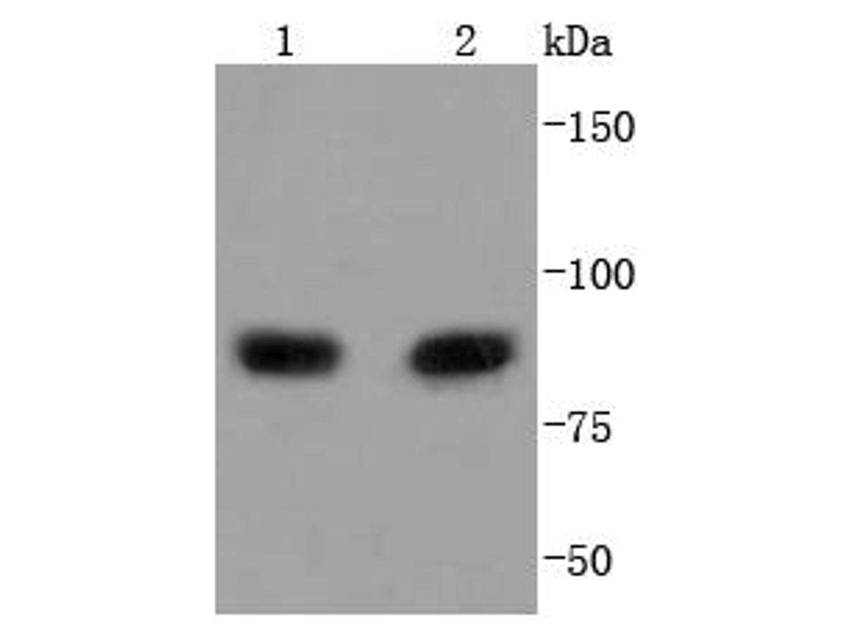 Western blot analysis of PI 3 Kinase p85 alpha on different lysates using anti-PI 3 Kinase p85 alpha antibody at 1/1,000 dilution.<br />  Positive control: <br />   Lane 1: MCF-7 <br />   Lane 2: Raji