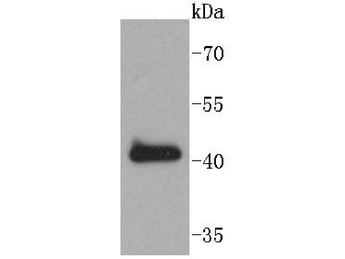 Western blot analysis of SOX18 on K562 cells lysates using anti-SOX18 antibody at 1/1,000 dilution.