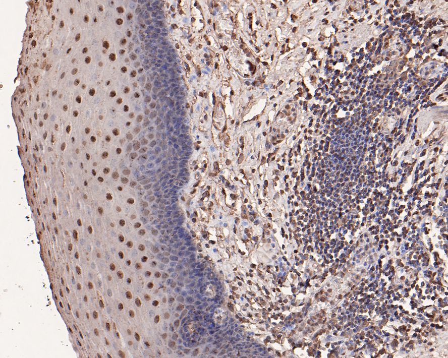 Flow cytometric analysis of Ubiquitin was done on HepG2 cells. The cells were fixed, permeabilized and stained with the primary antibody (ET1609-21, 1/50) (blue). After incubation of the primary antibody at room temperature for an hour, the cells were stained with a Alexa Fluor 488-conjugated Goat anti-Rabbit IgG Secondary antibody at 1/1000 dilution for 30 minutes.Unlabelled sample was used as a control (cells without incubation with primary antibody; red).