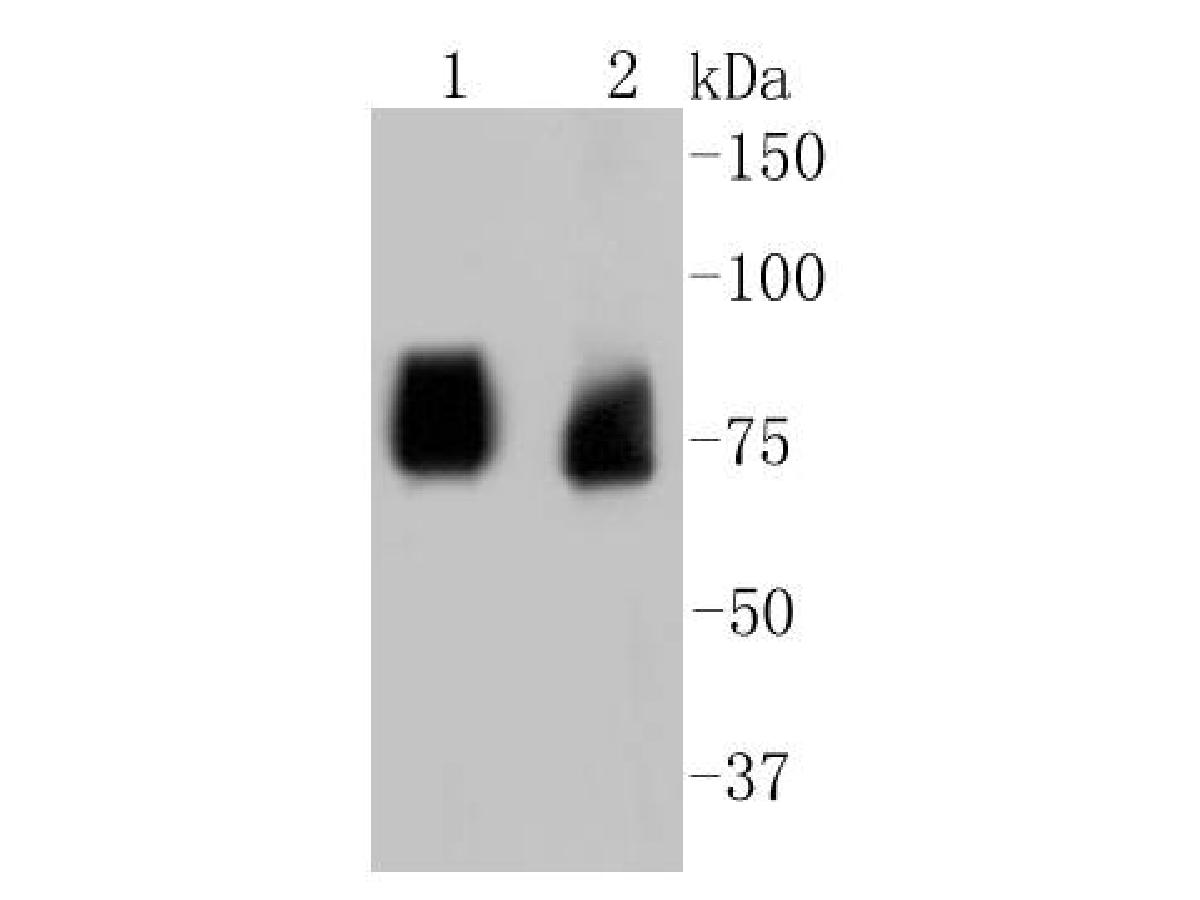 Western blot analysis of ASH2L on different lysates using anti-ASH2L antibody at 1/1,000 dilution.<br /> Positive control: <br /> Lane 1: PC12 <br /> Lane 2: 293T