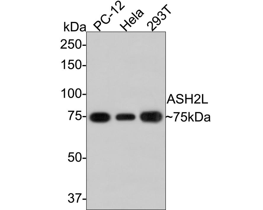 Western blot analysis of ASH2L on different lysates using anti-ASH2L antibody at 1/1,000 dilution. Positive control:    Lane 1: PC12                 Lane 2: 293T