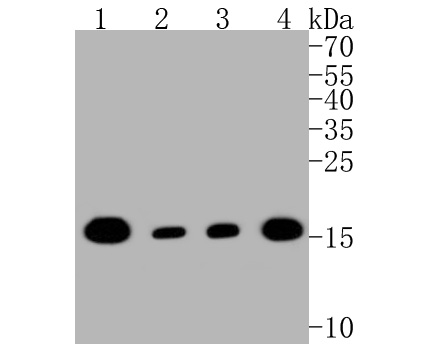 Western blot analysis of TOMM20 on different lysates. Proteins were transferred to a PVDF membrane and blocked with 5% BSA in PBS for 1 hour at room temperature. The primary antibody (ET1609-25, 1/500) was used in 5% BSA at room temperature for 2 hours. Goat Anti-Rabbit IgG - HRP Secondary Antibody (HA1001) at 1:5,000 dilution was used for 1 hour at room temperature.<br /> Positive control: <br /> Lane 1: Hela cell lysate<br /> Lane 2: MCF-7 cell lysate<br /> Lane 1: F9 cell lysate<br /> Lane 2: PC-12 cell lysate
