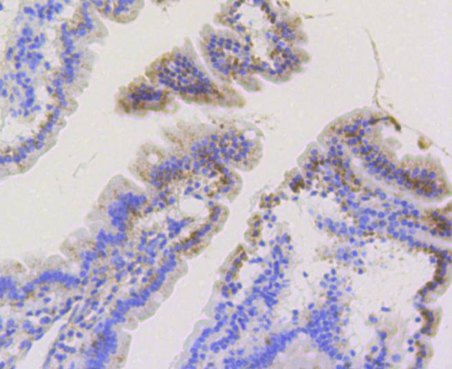 Immunohistochemical analysis of paraffin-embedded mouse small intestine tissue using anti-TOMM20 antibody. The section was pre-treated using heat mediated antigen retrieval with Tris-EDTA buffer (pH 8.0-8.4) for 20 minutes.The tissues were blocked in 5% BSA for 30 minutes at room temperature, washed with ddH2O and PBS, and then probed with the primary antibody (ET1609-25, 1/50) for 30 minutes at room temperature. The detection was performed using an HRP conjugated compact polymer system. DAB was used as the chromogen. Tissues were counterstained with hematoxylin and mounted with DPX.