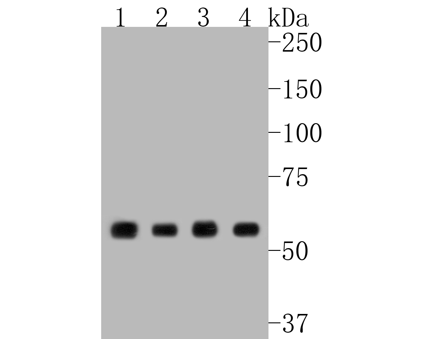 Western blot analysis of Hsp60 on different lysates. Proteins were transferred to a PVDF membrane and blocked with 5% BSA in PBS for 1 hour at room temperature. The primary antibody (ET1609-45, 1/500) was used in 5% BSA at room temperature for 2 hours. Goat Anti-Rabbit IgG - HRP Secondary Antibody (HA1001) at 1:5,000 dilution was used for 1 hour at room temperature.<br /> Positive control: <br /> Lane 1: Hela cell lysate<br /> Lane 2: MCF-7 cell lysate<br /> Lane 3: SW480 cell lysate<br /> Lane 4: PANC-1 cell lysate