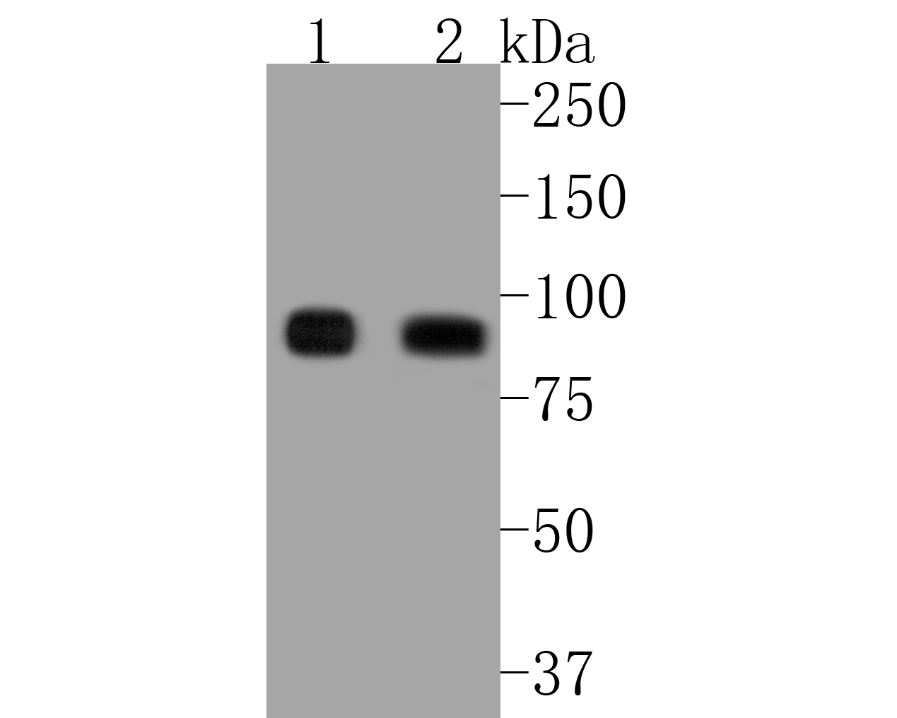 Western blot analysis of ICAM1 on different lysates. Proteins were transferred to a PVDF membrane and blocked with 5% BSA in PBS for 1 hour at room temperature. The primary antibody (ET1609-46, 1/500) was used in 5% BSA at room temperature for 2 hours. Goat Anti-Rabbit IgG - HRP Secondary Antibody (HA1001) at 1:5,000 dilution was used for 1 hour at room temperature.<br /> Positive control: <br /> Lane 1: Raji cell lysate<br /> Lane 2: HUVEC cell lysate