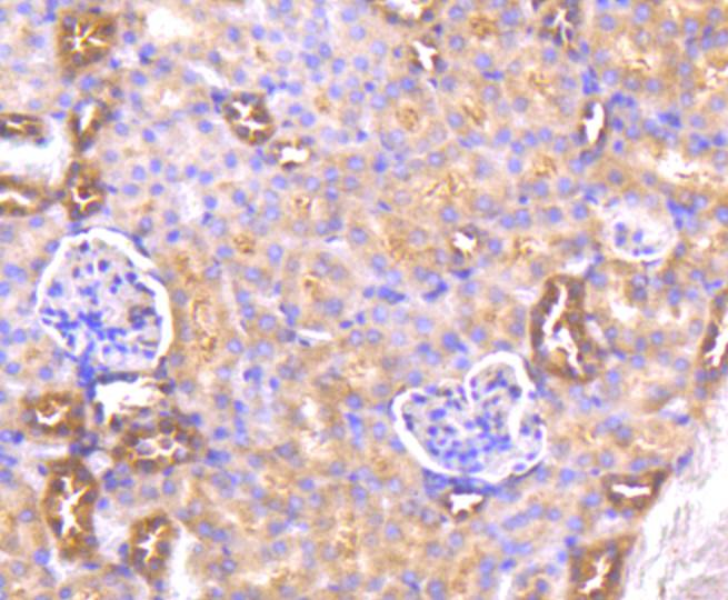 Flow cytometric analysis of AKT1 was done on Hela cells. The cells were fixed, permeabilized and stained with the primary antibody (ET1609-47, 1/50) (blue). After incubation of the primary antibody at room temperature for an hour, the cells were stained with a Alexa Fluor 488-conjugated Goat anti-Rabbit IgG Secondary antibody at 1/1000 dilution for 30 minutes.Unlabelled sample was used as a control (cells without incubation with primary antibody; red).