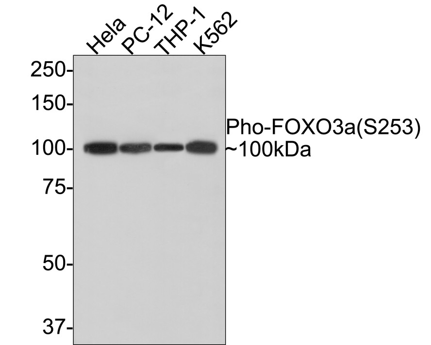 Western blot analysis of Phospho-FOXO3a(S253) on different lysates. Proteins were transferred to a PVDF membrane and blocked with 5% BSA in PBS for 1 hour at room temperature. The primary antibody (ET1609-49, 1/500) was used in 5% BSA at room temperature for 2 hours. Goat Anti-Rabbit IgG - HRP Secondary Antibody (HA1001) at 1:5,000 dilution was used for 1 hour at room temperature.<br />  Positive control: <br />  Lane 1: Hela cell lysate<br />  Lane 2: PC-12 cell lysate