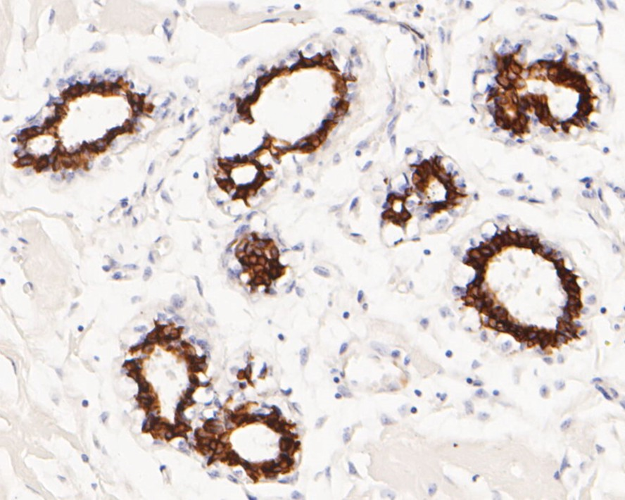 Immunohistochemical analysis of paraffin-embedded mouse liver tissue using anti-Cytokeratin 7 antibody. The section was pre-treated using heat mediated antigen retrieval with Tris-EDTA buffer (pH 8.0-8.4) for 20 minutes.The tissues were blocked in 5% BSA for 30 minutes at room temperature, washed with ddH2O and PBS, and then probed with the primary antibody (ET1609-62, 1/50) for 30 minutes at room temperature. The detection was performed using an HRP conjugated compact polymer system. DAB was used as the chromogen. Tissues were counterstained with hematoxylin and mounted with DPX.