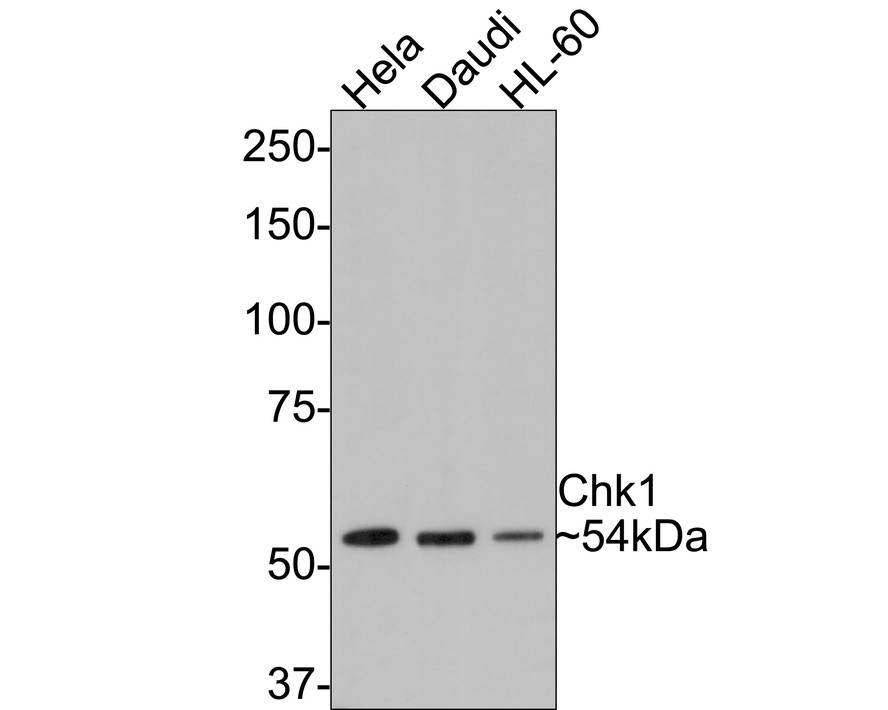 Western blot analysis of Chk1 on different lysates. Proteins were transferred to a PVDF membrane and blocked with 5% BSA in PBS for 1 hour at room temperature. The primary antibody (ET1609-71, 1/500) was used in 5% BSA at room temperature for 2 hours. Goat Anti-Rabbit IgG - HRP Secondary Antibody (HA1001) at 1:5,000 dilution was used for 1 hour at room temperature.<br /> Positive control: <br /> Lane 1: Hela cell lysate<br /> Lane 2: PC-3M cell lysate