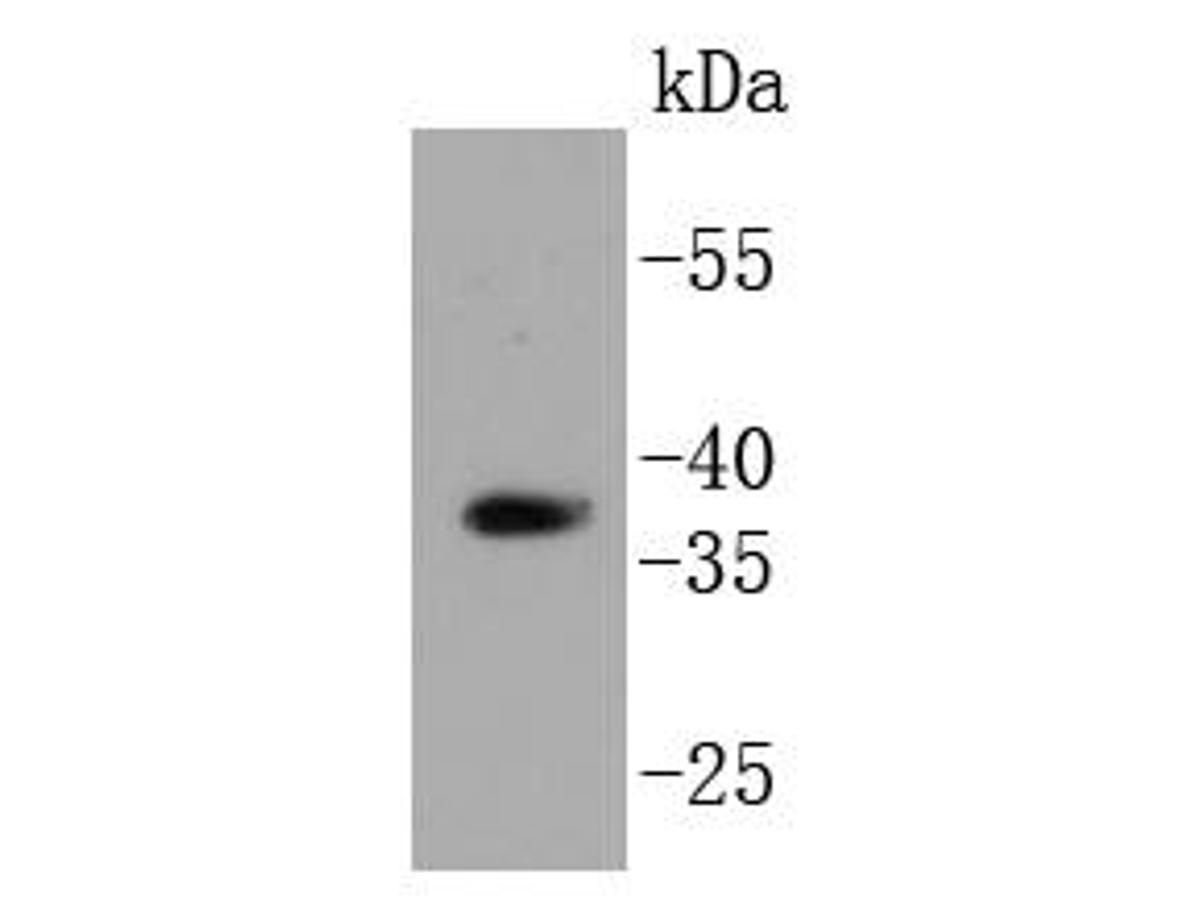 Western blot analysis of HtrA2 on 293 cell lysates using anti-HtrA2 antibody at 1/1,000 dilution.