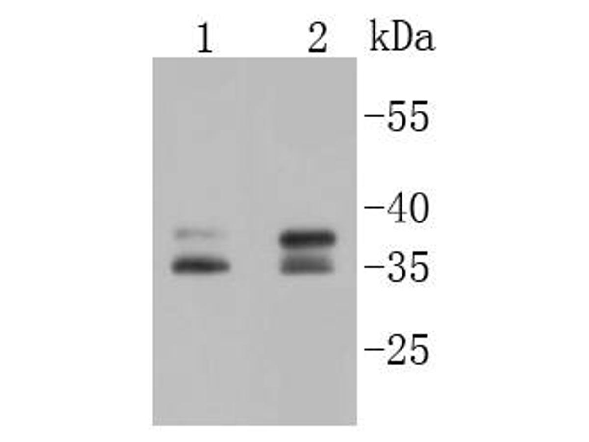 Western blot analysis of MSI2 on different lysates using anti-MSI2 antibody at 1/1,000 dilution.<br /> Positive control: <br />  Lane 1: Lovo <br />  Lane 2: PC-12