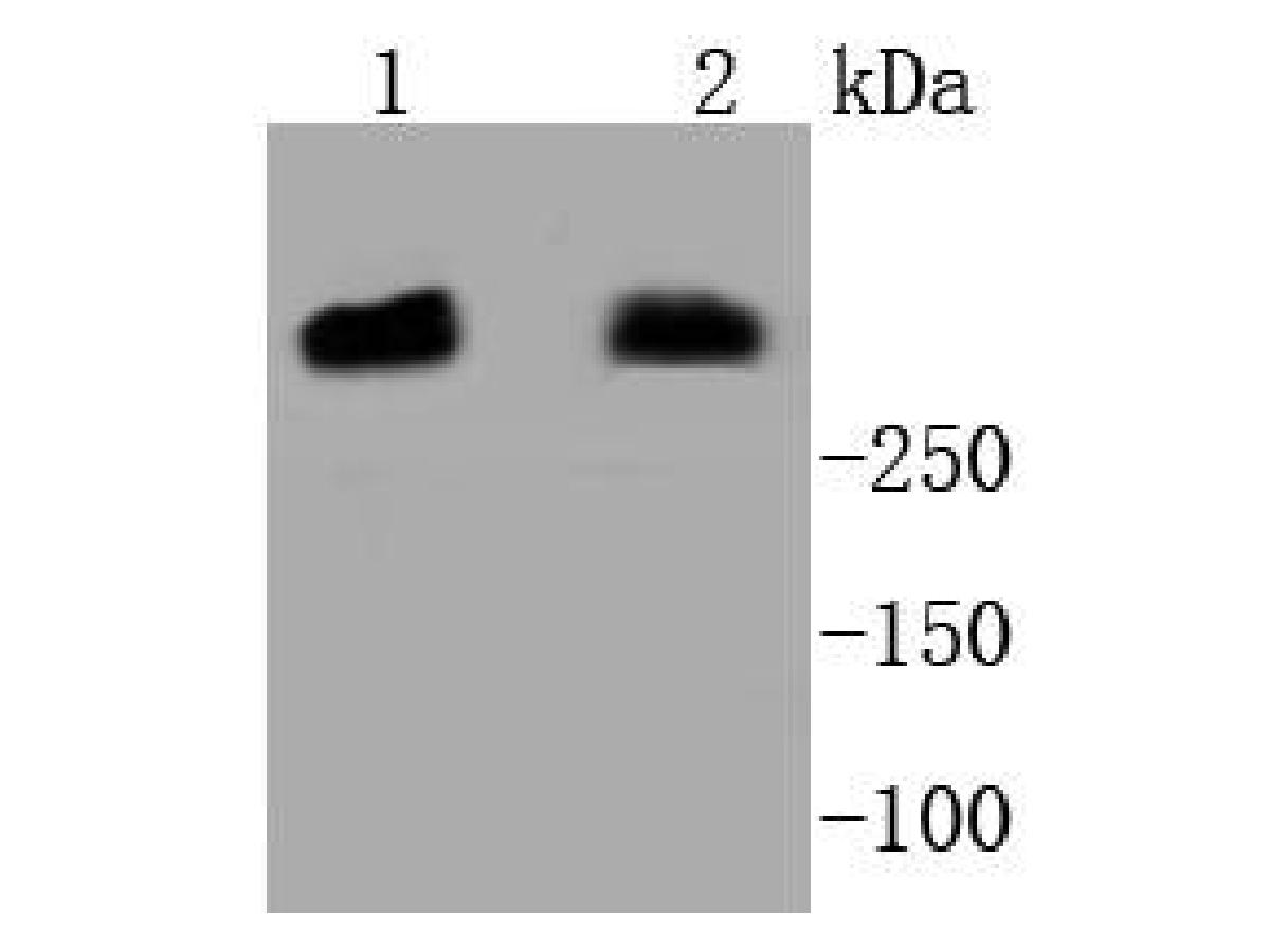 Western blot analysis of DNA PKcs on different lysates. Proteins were transferred to a PVDF membrane and blocked with 5% BSA in PBS for 1 hour at room temperature. The primary antibody (ET1610-12, 1/500) was used in 5% BSA at room temperature for 2 hours. Goat Anti-Rabbit IgG - HRP Secondary Antibody (HA1001) at 1:5,000 dilution was used for 1 hour at room temperature.<br /> Positive control: <br /> Lane 1: Hela cell lysate<br /> Lane 2: MCF-7 cell lysate
