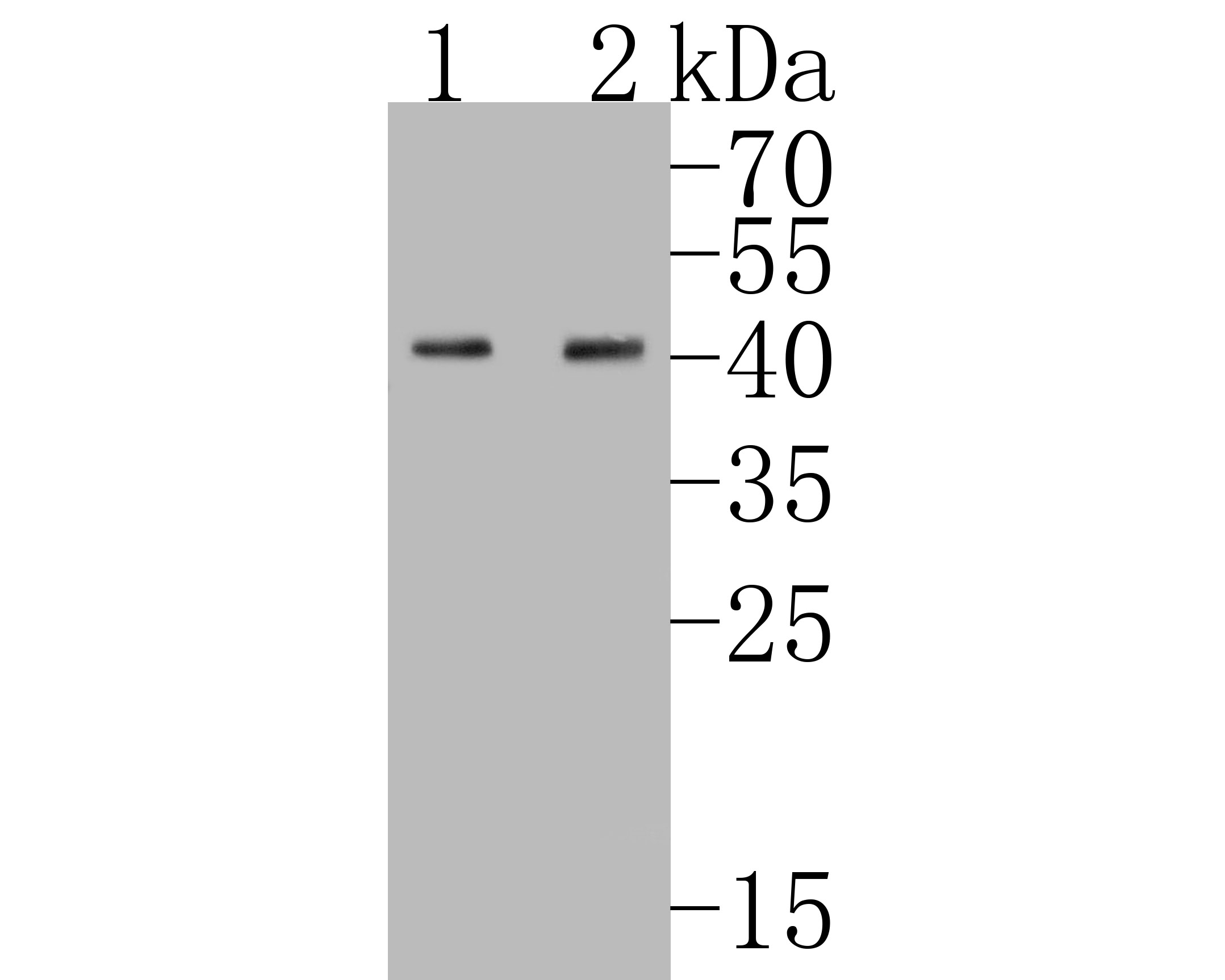 Western blot analysis of Nanog on different lysates. Proteins were transferred to a PVDF membrane and blocked with 5% BSA in PBS for 1 hour at room temperature. The primary antibody (ET1610-2, 1/500) was used in 5% BSA at room temperature for 2 hours. Goat Anti-Rabbit IgG - HRP Secondary Antibody (HA1001) at 1:5,000 dilution was used for 1 hour at room temperature.<br /> Positive control: <br /> Lane 1: F9 cell lysate<br /> Lane 2: mouse testis tissue lysate