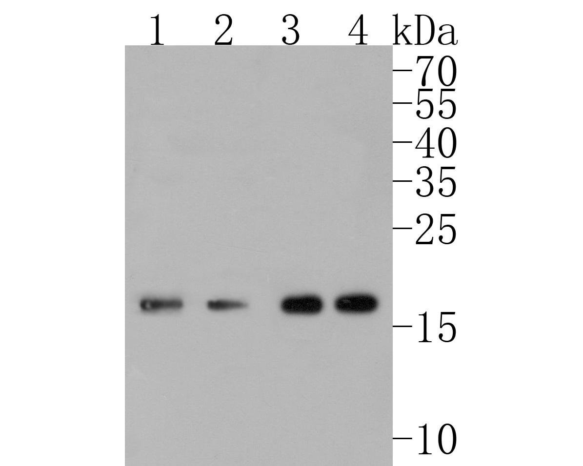Western blot analysis of UBC9 on different lysates. Proteins were transferred to a PVDF membrane and blocked with 5% BSA in PBS for 1 hour at room temperature. The primary antibody (ET1610-21, 1/500) was used in 5% BSA at room temperature for 2 hours. Goat Anti-Rabbit IgG - HRP Secondary Antibody (HA1001) at 1:5,000 dilution was used for 1 hour at room temperature.<br />  Positive control: <br />  Lane 1: HUVEC cell lysate<br />  Lane 2: HepG2 cell lysate<br />  Lane 3: Hela cell lysate<br />  Lane 4: SH-SY5Y cell lysate