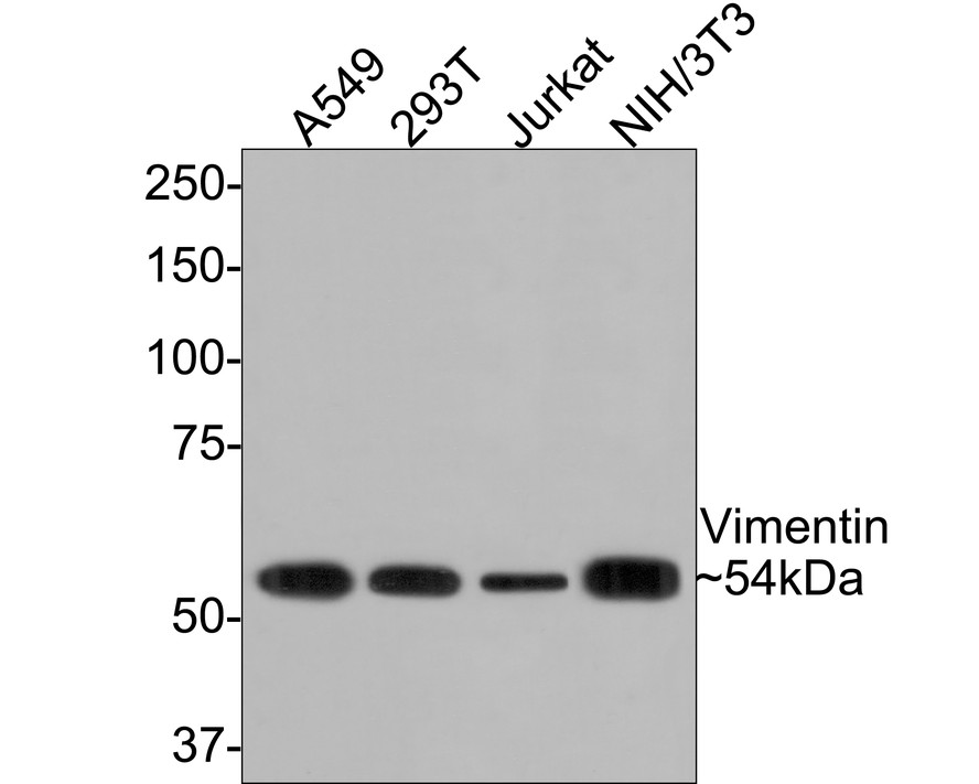 Western blot analysis of Vimentin on different lysates. Proteins were transferred to a PVDF membrane and blocked with 5% BSA in PBS for 1 hour at room temperature. The primary antibody (ET1610-39, 1/500) was used in 5% BSA at room temperature for 2 hours. Goat Anti-Rabbit IgG - HRP Secondary Antibody (HA1001) at 1:5,000 dilution was used for 1 hour at room temperature.<br /> Positive control: <br /> Lane 1: A549 cell lysate<br /> Lane 2: 293T cell lysate