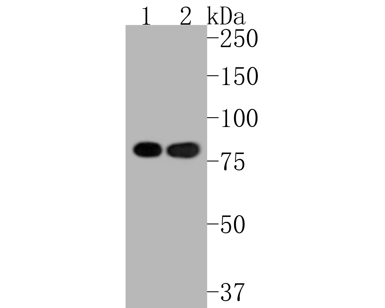 Western blot analysis of Ku80 on different lysates. Proteins were transferred to a PVDF membrane and blocked with 5% BSA in PBS for 1 hour at room temperature. The primary antibody (ET1610-40, 1/500) was used in 5% BSA at room temperature for 2 hours. Goat Anti-Rabbit IgG - HRP Secondary Antibody (HA1001) at 1:5,000 dilution was used for 1 hour at room temperature.<br /> Positive control: <br /> Lane 1: MCF-7 cell lysate<br /> Lane 2: A549 cell lysate
