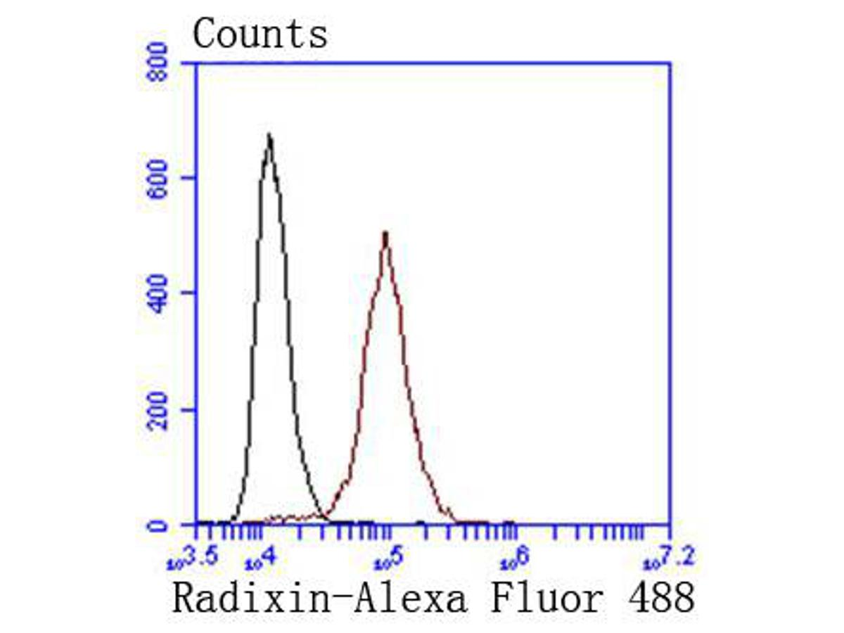 Flow cytometric analysis of Radixin was done on Hela cells. The cells were fixed, permeabilized and stained with the primary antibody (ET1610-41, 1/50) (red). After incubation of the primary antibody at room temperature for an hour, the cells were stained with a Alexa Fluor 488-conjugated Goat anti-Rabbit IgG Secondary antibody at 1/1000 dilution for 30 minutes.Unlabelled sample was used as a control (cells without incubation with primary antibody; black).