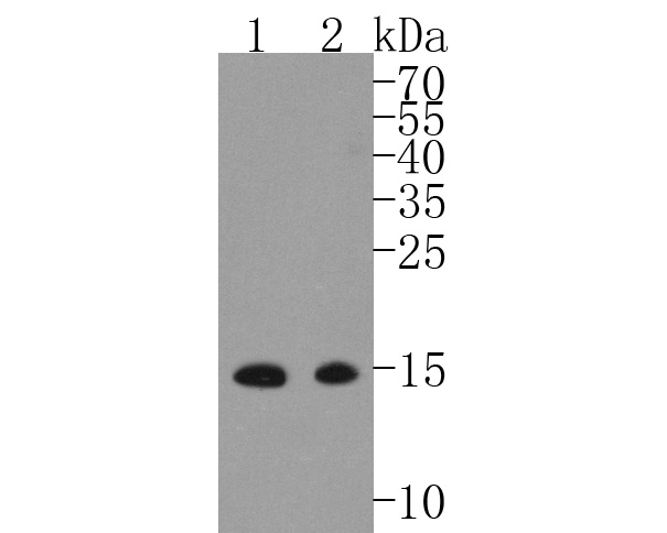 Western blot analysis of MelanA on different lysates. Proteins were transferred to a PVDF membrane and blocked with 5% BSA in PBS for 1 hour at room temperature. The primary antibody (ET1610-47, 1/500) was used in 5% BSA at room temperature for 2 hours. Goat Anti-Rabbit IgG - HRP Secondary Antibody (HA1001) at 1:5,000 dilution was used for 1 hour at room temperature.<br /> Positive control: <br /> Lane 1: Melanoma tissue lysate<br /> Lane 2: B18F1 cell lysate