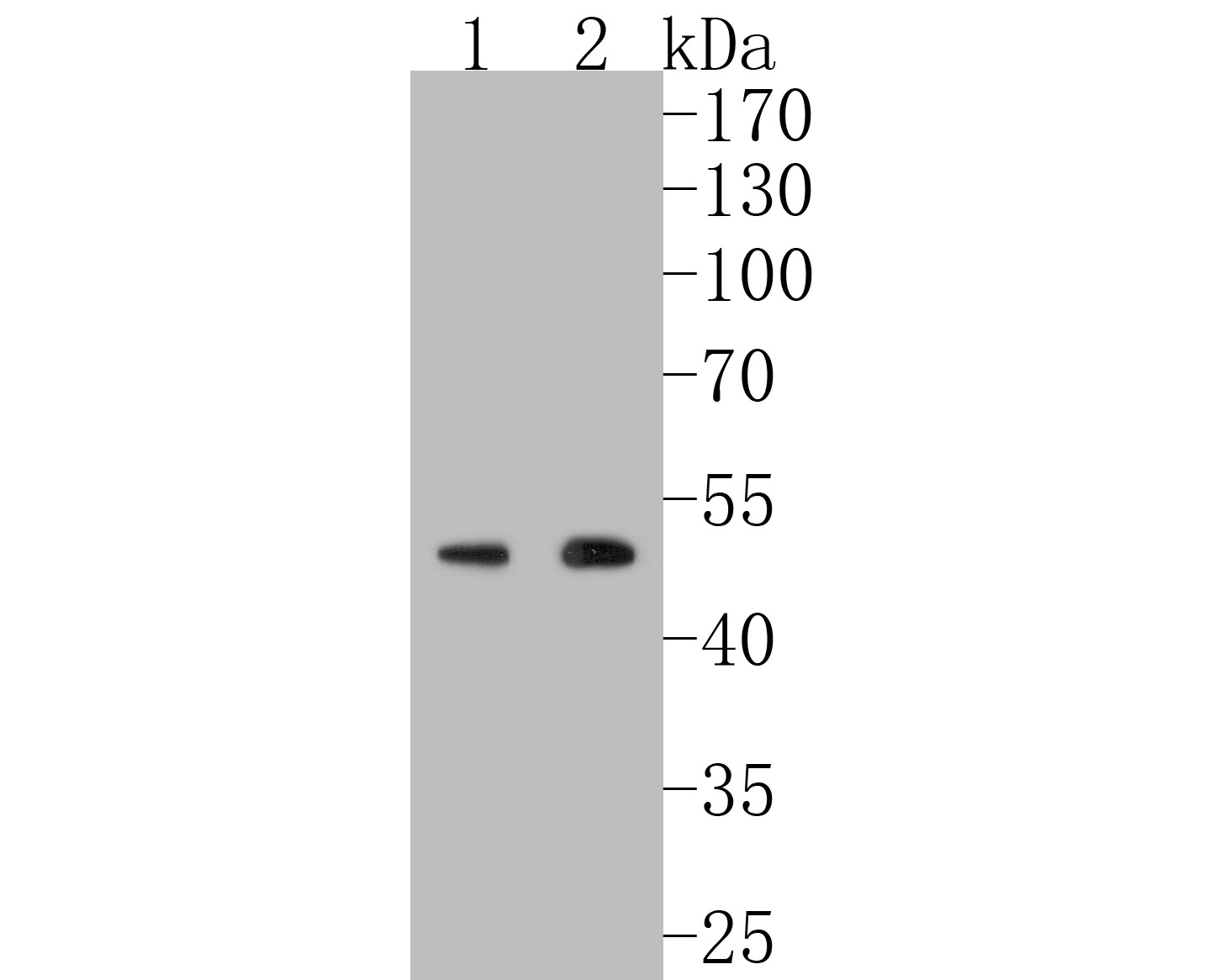 Western blot analysis of HDAC3 on different lysates. Proteins were transferred to a PVDF membrane and blocked with 5% BSA in PBS for 1 hour at room temperature. The primary antibody (ET1610-5, 1/500) was used in 5% BSA at room temperature for 2 hours. Goat Anti-Rabbit IgG - HRP Secondary Antibody (HA1001) at 1:5,000 dilution was used for 1 hour at room temperature.<br />  Positive control: <br />  Lane 1: HL-60 cell lysate<br />  Lane 2: K562 cell lysate