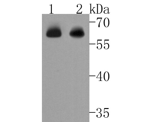 Western blot analysis of Chk2 on Hela cells lysates using anti-Chk2 antibody at 1/1,000 dilution.