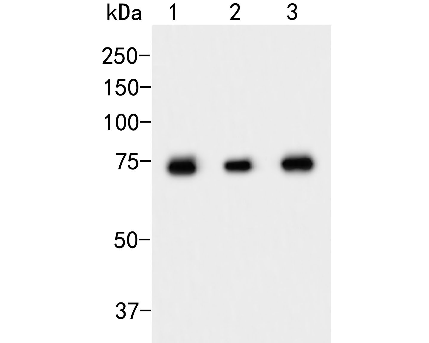 Western blot analysis of Apg7 on different lysates. Proteins were transferred to a PVDF membrane and blocked with 5% BSA in PBS for 1 hour at room temperature. The primary antibody (ET1610-53, 1/500) was used in 5% BSA at room temperature for 2 hours. Goat Anti-Rabbit IgG - HRP Secondary Antibody (HA1001) at 1:5,000 dilution was used for 1 hour at room temperature.<br />  Positive control: <br />  Lane 1: HepG2 cell lysates<br />  Lane 2: Jurkat cell lysates<br />  Lane 3: 293T cell lysates