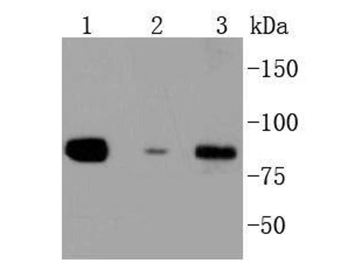 Western blot analysis of Daxx on different lysates using anti-Daxx antibody at 1/1,000 dilution.<br /> Positive control: <br /> Lane 1: Hela <br /> Lane 2: A549 <br /> Lane 3: SW480