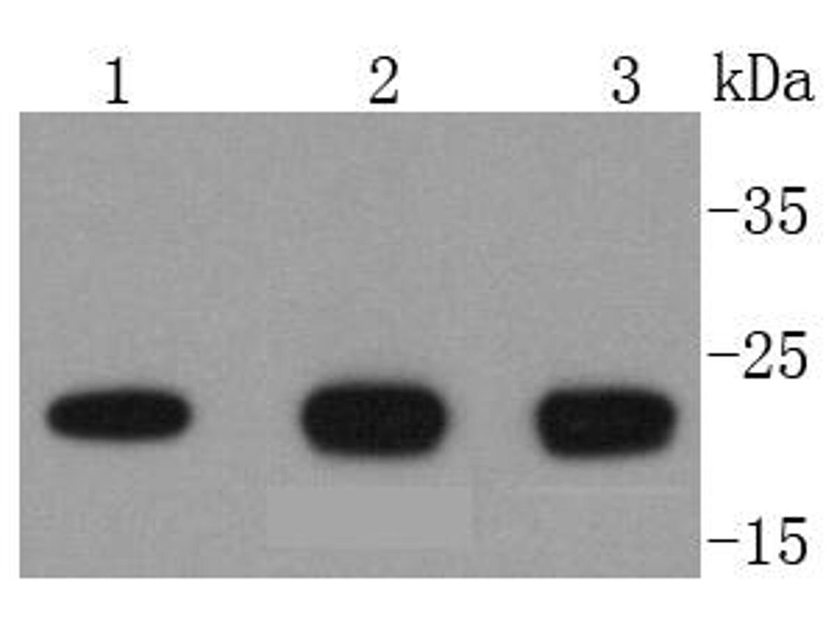 Western blot analysis of DIABLO on different lysates using anti-DIABLO antibody at 1/1,000 dilution.<br />  Positive control: <br />   Lane 1: Jurkat <br />   Lane 2: Hela <br />   Lane 3: MCF-7