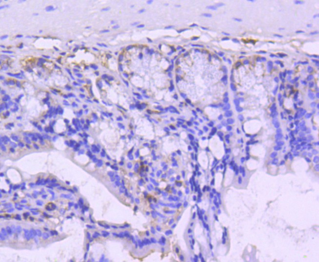 Immunohistochemical analysis of paraffin-embedded mouse colon tissue using anti-VAV2 antibody. Counter stained with hematoxylin.