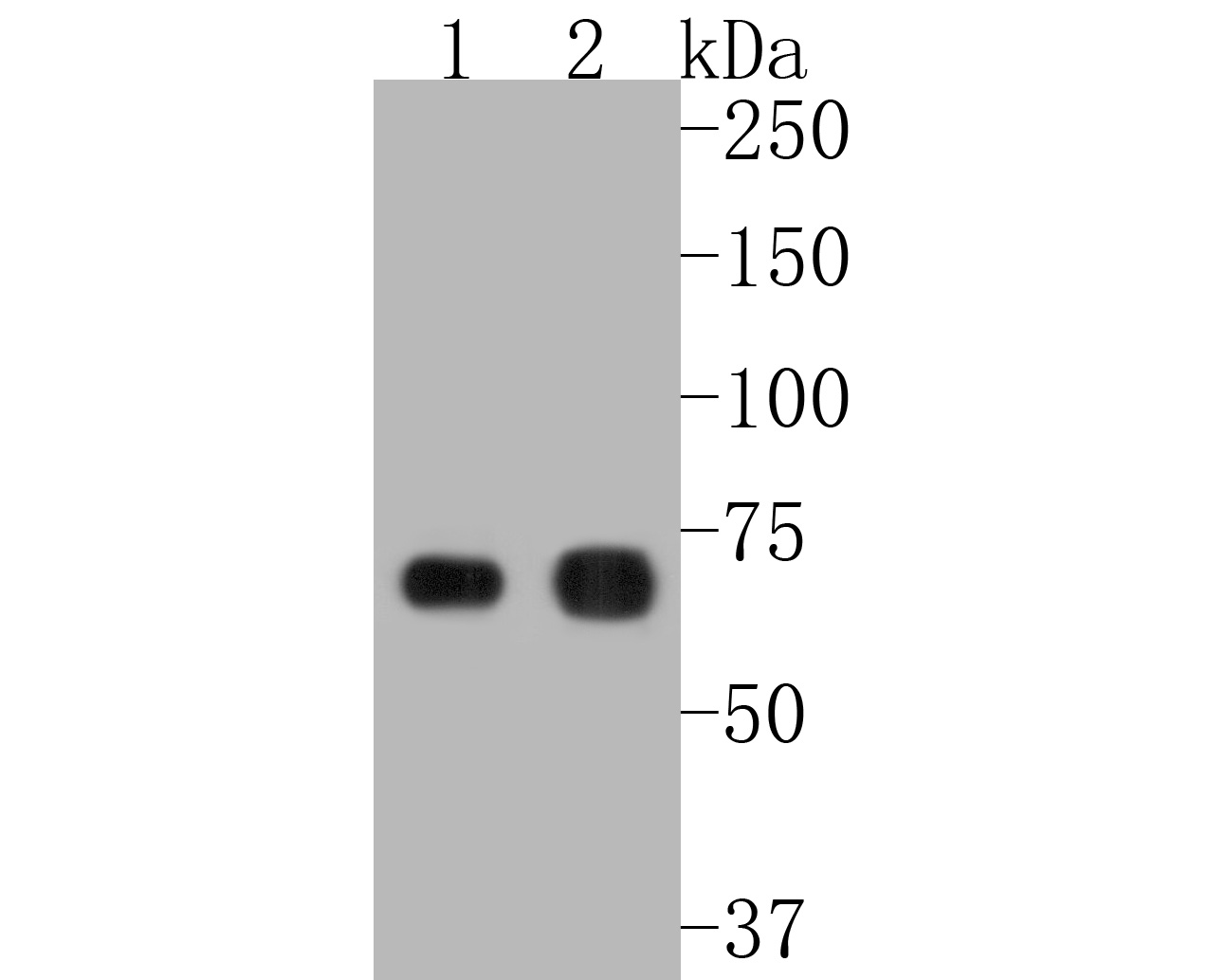 Western blot analysis of PKR on different lysates. Proteins were transferred to a PVDF membrane and blocked with 5% BSA in PBS for 1 hour at room temperature. The primary antibody (ET1610-84, 1/500) was used in 5% BSA at room temperature for 2 hours. Goat Anti-Rabbit IgG - HRP Secondary Antibody (HA1001) at 1:5,000 dilution was used for 1 hour at room temperature.<br /> Positive control: <br /> Lane 1: MCF-7 cell lysate<br /> Lane 2: Hela cell lysate