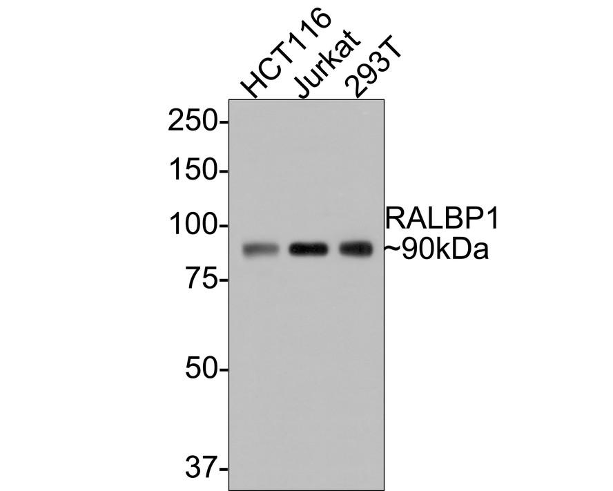 Western blot analysis of RALBP1 on different lysates using anti-RALBP1 antibody at 1/1,000 dilution.<br /> Positive control: <br />  Lane 1: HCT116 <br />  Lane 2: Jurkat <br />  Lane 3: 293T