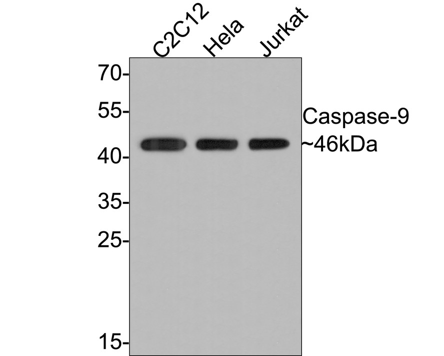 Western blot analysis of Caspase-9 on different lysates. Proteins were transferred to a PVDF membrane and blocked with 5% BSA in PBS for 1 hour at room temperature. The primary antibody (ET1610-95, 1/500) was used in 5% BSA at room temperature for 2 hours. Goat Anti-Rabbit IgG - HRP Secondary Antibody (HA1001) at 1:5,000 dilution was used for 1 hour at room temperature.<br /> Positive control: <br /> Lane 1: C2C12 cell lysate<br /> Lane 2: Hela cell lysate<br /> Lane 3: Jurkat cell lysate