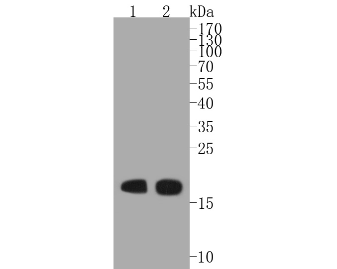 Western blot analysis of Myosin Light Chain 2 on different lysates. Proteins were transferred to a PVDF membrane and blocked with 5% BSA in PBS for 1 hour at room temperature. The primary antibody (ET1611-13, 1/500) was used in 5% BSA at room temperature for 2 hours. Goat Anti-Rabbit IgG - HRP Secondary Antibody (HA1001) at 1:5,000 dilution was used for 1 hour at room temperature.<br />  Positive control: <br />  Lane 1: mouse heart tissue lysate<br />  Lane 2: rat heart tissue lysate