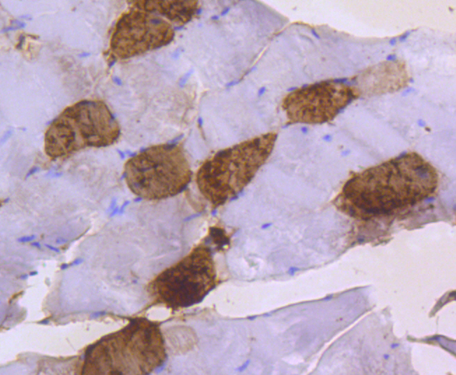 Immunohistochemical analysis of paraffin-embedded mouse skeletal muscle tissue using anti-Myosin Light Chain 2 antibody. The section was pre-treated using heat mediated antigen retrieval with Tris-EDTA buffer (pH 8.0-8.4) for 20 minutes.The tissues were blocked in 5% BSA for 30 minutes at room temperature, washed with ddH2O and PBS, and then probed with the primary antibody (ET1611-13, 1/50) for 30 minutes at room temperature. The detection was performed using an HRP conjugated compact polymer system. DAB was used as the chromogen. Tissues were counterstained with hematoxylin and mounted with DPX.