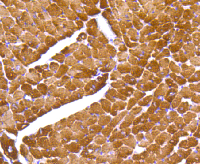 Immunohistochemical analysis of paraffin-embedded mouse heart tissue using anti-Myosin Light Chain 2 antibody. The section was pre-treated using heat mediated antigen retrieval with Tris-EDTA buffer (pH 8.0-8.4) for 20 minutes.The tissues were blocked in 5% BSA for 30 minutes at room temperature, washed with ddH2O and PBS, and then probed with the primary antibody (ET1611-13, 1/50) for 30 minutes at room temperature. The detection was performed using an HRP conjugated compact polymer system. DAB was used as the chromogen. Tissues were counterstained with hematoxylin and mounted with DPX.