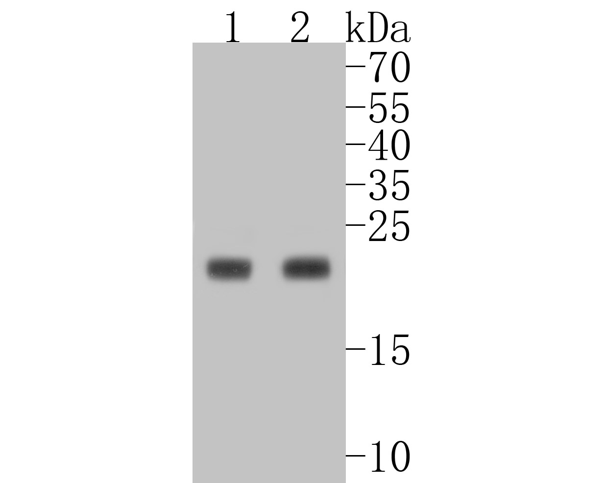 Western blot analysis of MUC1 on different lysates. Proteins were transferred to a PVDF membrane and blocked with 5% BSA in PBS for 1 hour at room temperature. The primary antibody (ET1611-14, 1/500) was used in 5% BSA at room temperature for 2 hours. Goat Anti-Rabbit IgG - HRP Secondary Antibody (HA1001) at 1:5,000 dilution was used for 1 hour at room temperature.<br />  Positive control: <br />  Lane 1: Hela cell lysate<br />  Lane 2: MCF-7 cell lysate